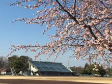 熊谷さくら運動公園 河津桜