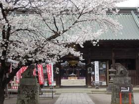 06 桜の咲く参道